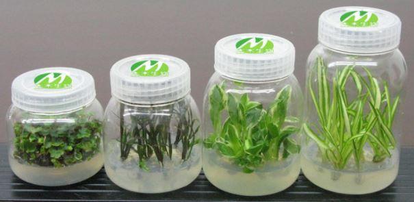 DYA40133 PLANT TISSUE CULTURE (SESI 1 2021/2022)