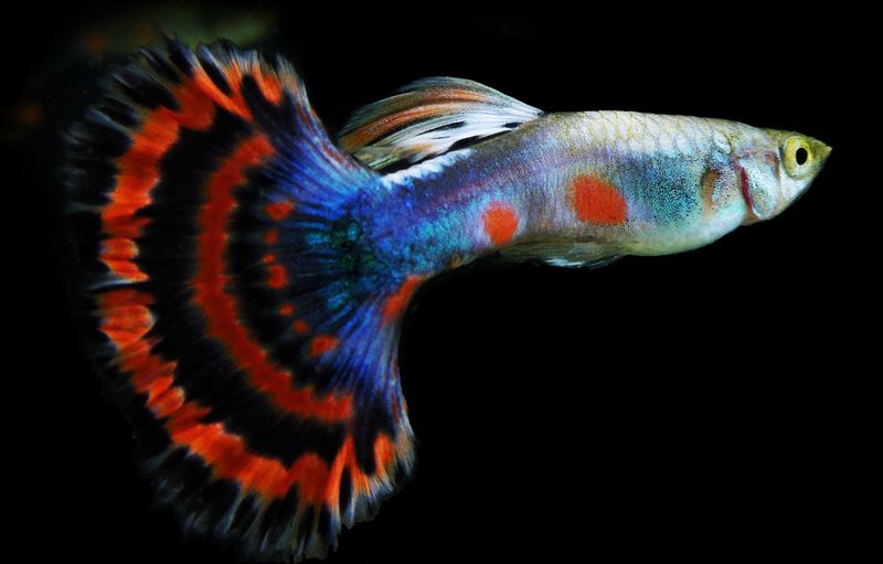DYQ6072 : ORNAMENTAL FISH CULTURE